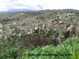 paleras en Corvera Murcia 300x225 Las paleras y sus higos chumbos en peligro