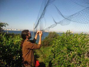 ANSE anillamiento Isla Grosa Murcia Anillamiento de aves en Isla Grosa por ANSE