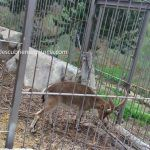 ANSE quiere medidas para proteger la cabra montés, el ciervo y el corzo