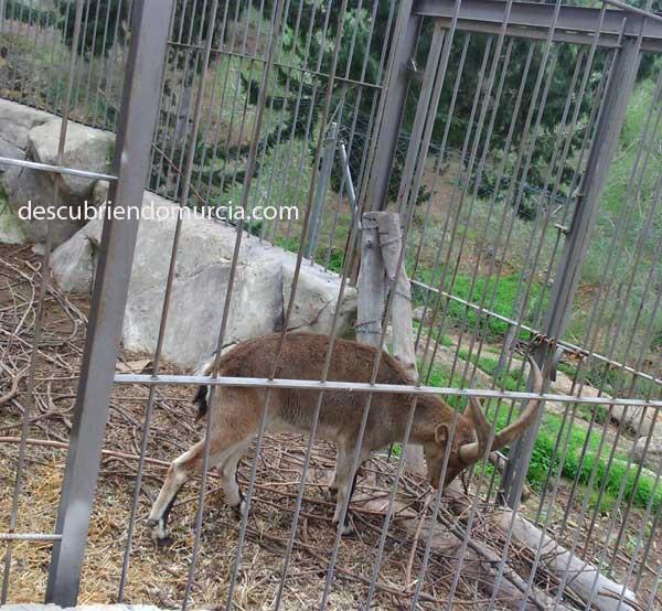 cabra montesa ANSE quiere medidas para proteger la cabra montés, el ciervo y el corzo