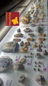 Museo Arqueologico Cehegin 169x300 Un vecino dona 2000 fósiles al Museo Arqueológico de Cehegín