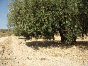 olivar de Murcia 300x225 La tahúlla, una medida de superficie murciana