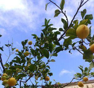 limones murcia limon Los limones de Santomera y el asedio al Peñón de Gibraltar