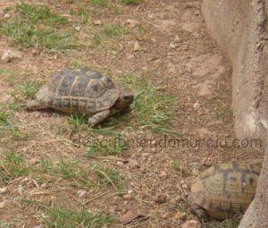Tortuga Mora Murcia 300x255 Las tortugas moras de Murcia, despiertan en primavera