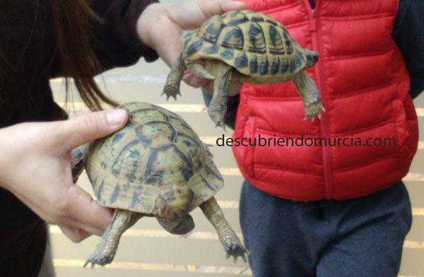 Tortugas moras Las tortugas moras de Murcia, despiertan en primavera