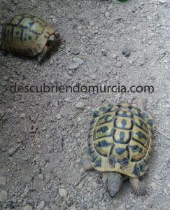 tortugas moras murcia 243x300 Visitamos el Centro de Recuperación de Fauna Silvestre El Valle