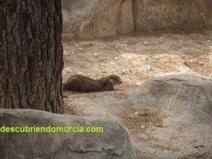 nutria Centro Recuperacion Fauna Murcia 300x225 Cuando había nutrias en el río Luchena