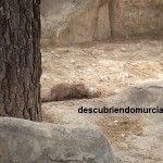 Indicios de la presencia de nutrias en la ciudad de Murcia