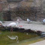 Las gaviotas de Audouin en las Salinas de San Pedro del Pinatar