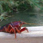 Cangrejo americano en le río Chícamo (Macisvenda) 08/08/2017
