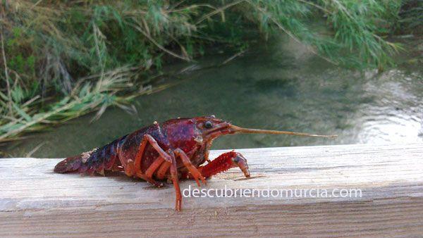 Cangrejo americano La invasión americana, en forma de cangrejo