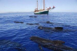 delfines calderones Murcia ANSE 300x201 A la búsqueda de delfines y calderones con ANSE