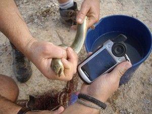 Anguila rio Segura Murcia Anguila. Este escurridizo y misterioso animal reaparece en el río Segura