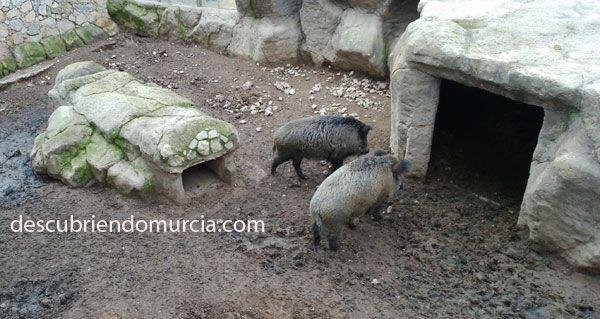 jabali murcia Cazando jabalíes en San Pedro del Pinatar