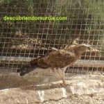 Águilas calzadas y culebreras por los cielos de Sierra Espuña