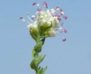 Cressa Cretica Aparece una planta en el Mar Menor, 40 años después
