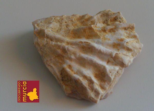 Bolnuevo mazarron fosil Vieiras, berberechos y almejas en la Bahía de Mazarrón