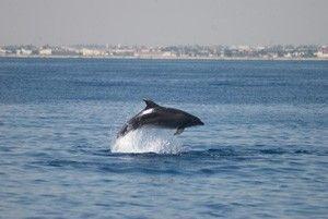 Delfin La Manga Los delfines mulares de La Manga y San Pedro del Pinatar