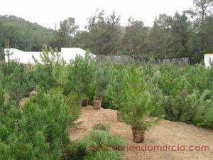 Vivero Forestal El Valle 300x225 Árboles de navidad en el vivero de El Valle