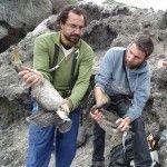 Cormoranes Moñudos del litoral murciano en «Peligro Crítico»
