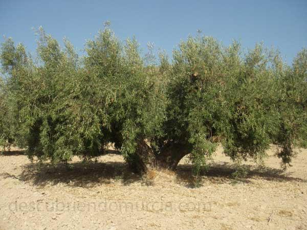 Aceite Aceite de oliva y la prevención del cáncer