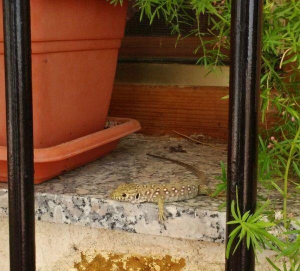 lagarto Lagarto ocelado, el más grande de toda Europa