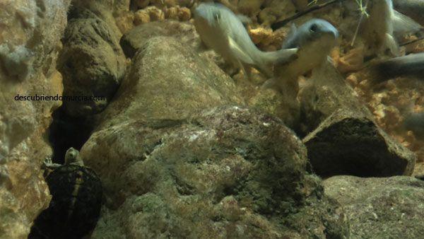 Galapago Leproso El galápago leproso autóctono que resiste en aguas contaminadas